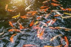 Fancy carp or Called Koi fish swimming in carp pond. Many Fancy carp or Called Koi fish swimming in carp pond. Sun light filter effect stock photos