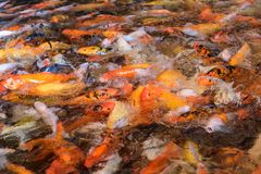 Fancy carp Feeding. A lot of Fancy carp Feeding Royalty Free Stock Photography