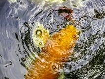 Fancy carp fish. Background Stock Image