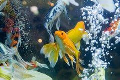 Fancy carp fish Royalty Free Stock Photo