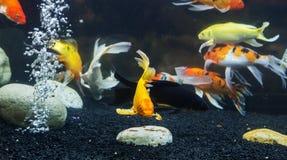 Fancy carp fish Stock Photos