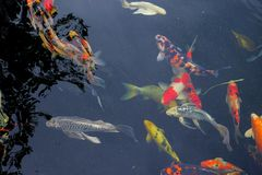Fancy carp fish. On a black background Royalty Free Stock Photo