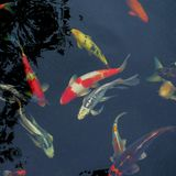Fancy carp fish. On a black background Stock Images