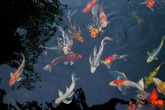 Fancy carp fish. On a black background Royalty Free Stock Photos