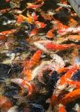 Fancy carp fish Stock Image