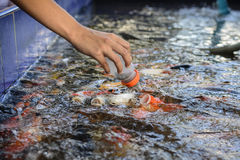 Fancy carp fish,Feeding carp Stock Photography