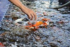 Fancy carp fish,Feeding carp Royalty Free Stock Photo