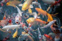 Fancy carp fish Stock Photography