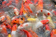 Fancy carp fish. Hungry fancy carp fish waiting for food Stock Photo