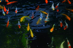 Fancy carp fish Royalty Free Stock Image