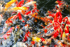 Fancy carp fish Royalty Free Stock Photos