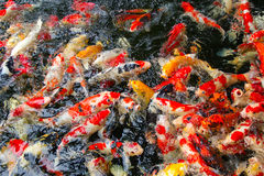 Fancy carp fish Stock Photography