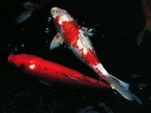 Fancy carp fish in the pond stock photo
