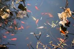 Fancy carp fish pond. Stock Image