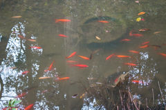 Fancy carp fish pond. Royalty Free Stock Images