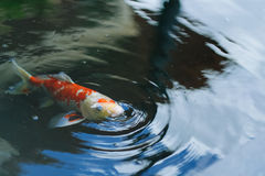 Fancy carp fish in the pool Royalty Free Stock Images