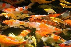 Fancy carp Royalty Free Stock Photo