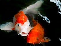 Fancy Carp Fish. Two Fancy Carp Fish in the water Stock Photos