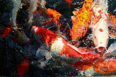 Fancy carp fish Royalty Free Stock Images