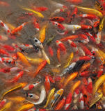 Fancy carp fishs / koi. Fancy carp fishs in pool royalty free stock photos