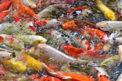 Fancy carp fishs in The pond Stock Images