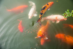 Fancy carp Stock Images