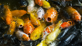 Fancy carp. For food.This photo was taken in Tianmu Lake,china Royalty Free Stock Images