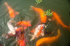 Fancy carp Royalty Free Stock Images