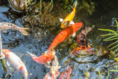 Fancy Carp,Koi fish Royalty Free Stock Image