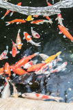 Fancy Carp,Koi fish Royalty Free Stock Photos