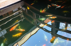 Fancy carp or Koi fish in the garden. Carp are various species of oily freshwater fish of the family Cyprinidae, a very large group of fish native to Europe and Stock Photo