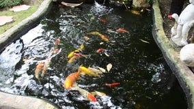 Fancy carp or Koi fish in the pond. stock video