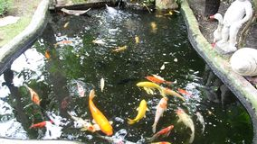 Fancy carp or Koi fish in the pond. 