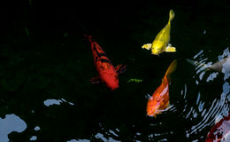 Fancy carp or koi fish swimming. In The pond Royalty Free Stock Photography