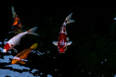 The fancy carp or koi fish swimming in The pond Stock Photos