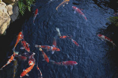 Fancy carp or Koi fish swimming at pond in Japanese garden Royalty Free Stock Photography