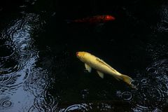 Fancy carp or koi fish swimming in The pond when rain drop. The fancy carp or koi fish swimming in The pond when rain drop Royalty Free Stock Images
