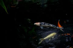 Fancy carp or koi fish swimming in The pond when rain drop. The fancy carp or koi fish swimming in The pond when rain drop Royalty Free Stock Photos