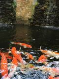 Fancy carp koi fish underwater stock images