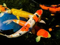 Fancy carp is lively and beautiful. Fancy carp swimming in koi look lively and so beautiful Stock Photography