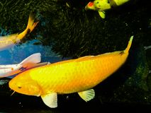 Fancy carp is lively and beautiful. Fancy carp swimming in koi look lively and so beautiful Royalty Free Stock Images