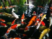 Fancy carp, Mirror carp, Koi, Nishikigoi Animal auspicious. Feng shui home Royalty Free Stock Photography