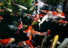 Fancy carp, Mirror carp, Koi, Nishikigoi Animal. Auspicious feng shui home Royalty Free Stock Image