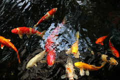 fancy carp or mirror carp swim in the pool Royalty Free Stock Photography