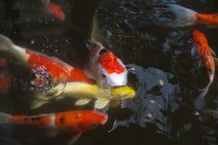 Fancy carp in pond. Koi fish or fancy carp in pond Stock Photo