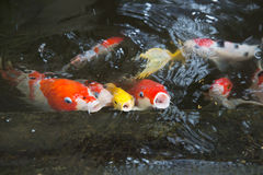 Fancy carp in pond. Royalty Free Stock Image