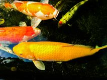 Fancy carp is lively and beautiful. Fancy carp swimming in koi look lively and so beautiful Royalty Free Stock Photos