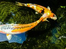 Fancy carp is lively and beautiful. Fancy carp swimming in koi look lively and so beautiful Royalty Free Stock Photography