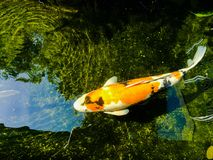 Fancy carp is lively and beautiful. Fancy carp swimming in koi look lively and so beautiful Stock Images