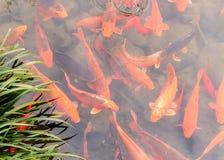 Fancy carp swimming Stock Photo